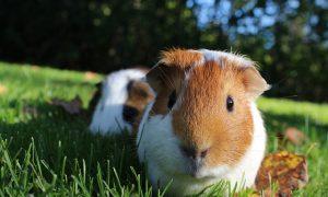 Guinea pigs in the sun