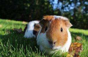 Guinea pigs in the sun