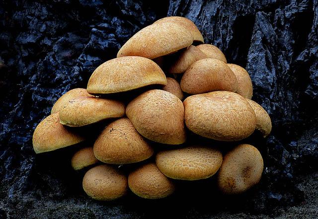 mushrooms can be dangerous for guinea pigs