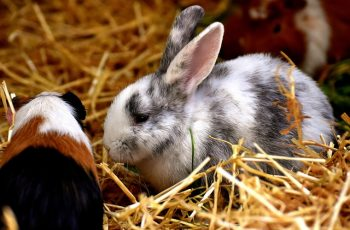 Rabbits and guinea pigs have similar but different nutritional requirements