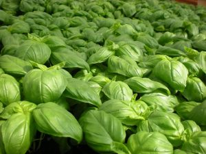 basil for guinea pigs