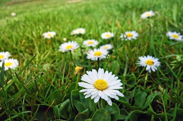 Common lawn daisy