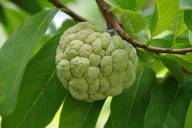 a custard apple