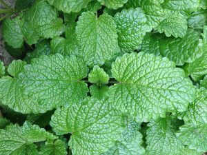 Mint herb plants