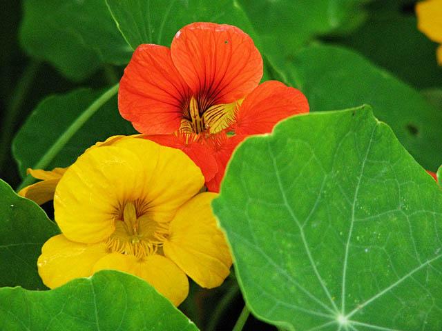nasturtium plant for guinea pigs