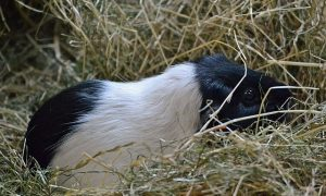 Guinea pig in hay bedding