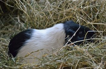 Guinea pig in hay bedding