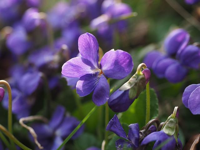 Viola violet flowers