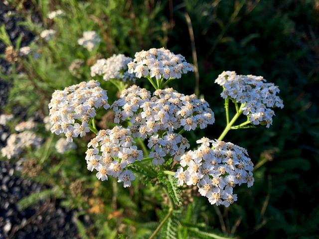yarrow plants for guinea pigs
