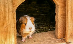 guinea pig with wood