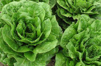 lettuce for guinea pigs