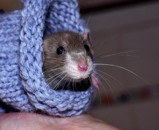 Comfy pet rat