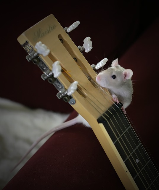 Rat chewing on guitar