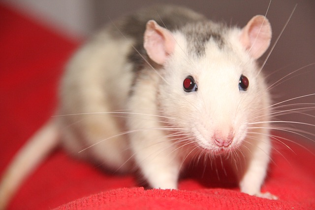 Rats are intelligent, interesting pets but still require the dedication that all pets require