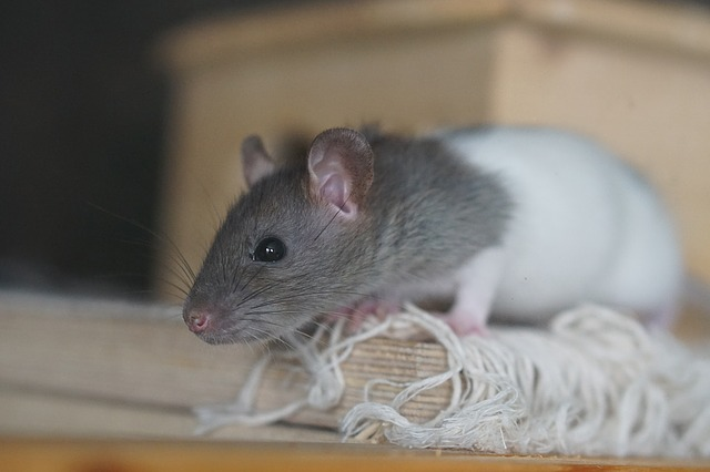 A young pet rat